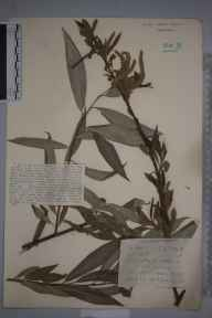 Salix alba subsp. vitellina herbarium specimen from Cadwell, VC30 Bedfordshire in 1921 by Mr Joseph Edward Little.
