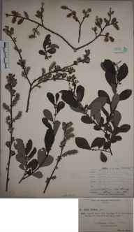 Salix aurita herbarium specimen from Yeldersley, VC57 Derbyshire in 1893 by Rev William Richardson Linton.
