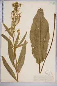Armoracia rusticana herbarium specimen from Falmer, VC14 East Sussex in 1845 by Joseph Woods.