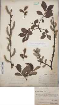 Salix cinerea subsp. oleifolia herbarium specimen from Yeldersley, VC57 Derbyshire in 1893 by Rev William Richardson Linton.