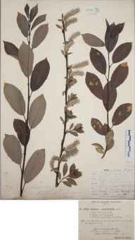 Salix cinerea x phylicifolia = S. x laurina herbarium specimen collected in 1892 by Rev. Edward Francis Linton.