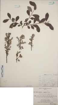 Salix cinerea x repens = S. x subsericea herbarium specimen from Shirley, VC57 Derbyshire in 1894 by Rev William Richardson Linton.