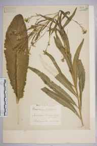 Armoracia rusticana herbarium specimen from Chiswick, Duke's Meadows, VC21 Middlesex in 1939 by Edward Benedict Bangerter.