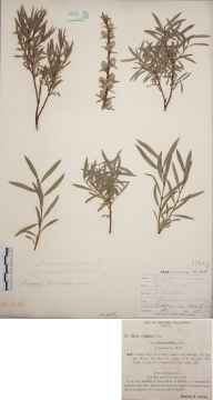 Salix repens var. rosmannifolia herbarium specimen from Bournemouth, VC9 Dorset in 1895 by Rev. Edward Francis Linton.