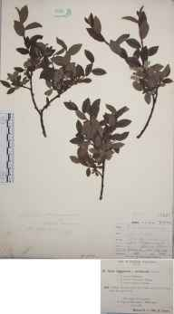 Salix arbuscula herbarium specimen from Ben Lawers, VC88 Mid Perthshire in 1891 by Rev. Edward Francis Linton.