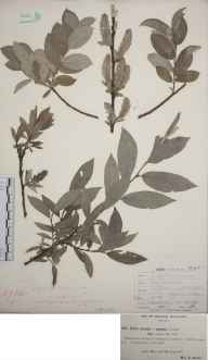 Salix lanata herbarium specimen from Shirley, VC57 Derbyshire in 1897 by Rev William Richardson Linton.