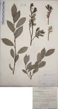 Salix myrsinites herbarium specimen from Bournemouth, VC9 Dorset in 1892 by Rev. Edward Francis Linton.