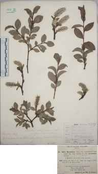 Salix myrsinities var. procumbens herbarium specimen from Shirley, VC57 Derbyshire in 1891 by Rev. Edward Francis Linton.