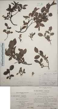 Salix lapponum x herbacea = S. x sobrina herbarium specimen from Shirley, VC57 Derbyshire in 1894 by Rev William Richardson Linton.