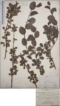 Salix aurita x repens x herbacea = S. x grahamii herbarium specimen from Balmuto, VC85 Fifeshire in 1893 by Rev. Edward Francis Linton.