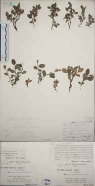 Salix repens x herbacea = S. x cernua herbarium specimen from Little Craigandal [Creag an Dail Bheag], VC92 South Aberdeenshire in 1895 by Rev. Edward Francis Linton.