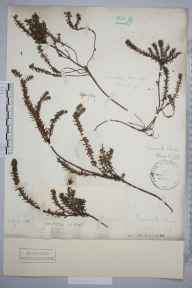 Empetrum nigrum herbarium specimen from Cannock Chase, VC39 Staffordshire in 1887 by Henry Franklin Parsons.