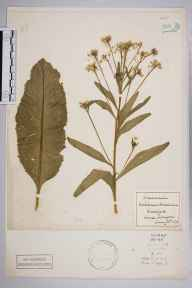 Armoracia rusticana herbarium specimen from Upper Norwood, VC17 Surrey in 1875 by James (Willie) Epps.