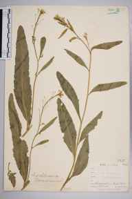 Armoracia rusticana herbarium specimen from East Looe, VC2 East Cornwall in 1900 by Mr Allan Octavian Hume.