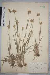 Luzula multiflora var. pallescens herbarium specimen from Witley, VC17 Surrey in 1889 by Rev. Edward Shearburn Marshall.