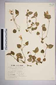 Viola riviniana herbarium specimen from Crazies Hill, VC22 Berkshire in 1935 by Richard Barker Ullman.