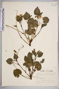 Viola riviniana herbarium specimen from Upham, VC11 South Hampshire in 1925 by Mr Patrick Martin Hall.