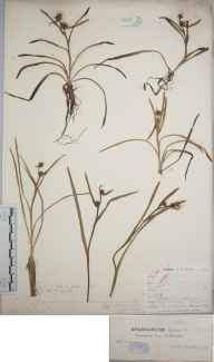 Sparganium minimum herbarium specimen from Wybunbury Bog, VC58 Cheshire in 1881 by Dr John Fraser.