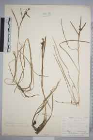 Sparganium minimum herbarium specimen from Killarney, Kerry in 1885 by Rev William Richardson Linton.