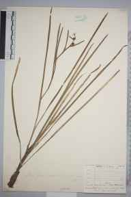 Sparganium minimum herbarium specimen from New Forest, Hampshire in 1886 by Mr Henry Groves.
