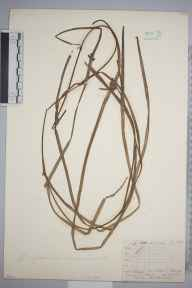 Sparganium minimum herbarium specimen from Ballogie, VC92 South Aberdeenshire in 1871 by Mr Frederick Townsend.