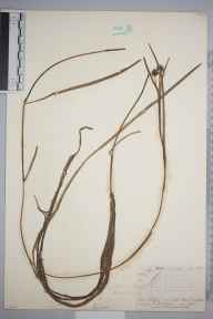 Sparganium minimum herbarium specimen from Congleton, VC58 Cheshire in 1845 by Mr Frederick Townsend.
