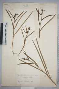 Sparganium minimum herbarium specimen from VC40 Shropshire in 1885 by William Edmund Beckwith.