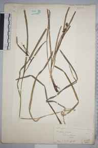 Sparganium natans herbarium specimen from Holyhead, VC52 Anglesey in 1886 by Mr John Edwards Griffith.