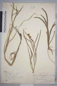 Sparganium minimum herbarium specimen from Burwell Fen, VC29 Cambridgeshire in 1882 by Mr Arthur Bennett.