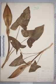 Arum maculatum herbarium specimen from Ponsanooth, VC1 West Cornwall in 1900 by Mr Frederick Hamilton Davey.