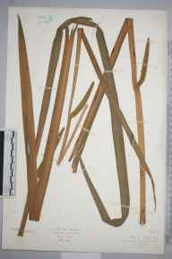 Acorus calamus herbarium specimen from Stanmore, VC21 Middlesex in 1926 by Mr Isaac A Helsby.