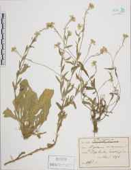 Berteroa incana herbarium specimen from Tooting, VC17 Surrey in 1892.