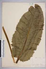 Armoracia rusticana herbarium specimen from Looe, VC2 East Cornwall in 1900 by Mr Allan Octavian Hume.