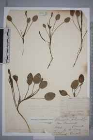 Potamogeton polygonifolius herbarium specimen from Ponsanooth, VC1 West Cornwall in 1906 by Mr Frederick Hamilton Davey.