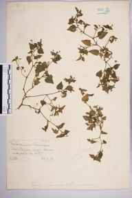 Viola riviniana x canina = V. x intersita herbarium specimen from Reigate, VC17 Surrey in 1888 by Mr William Hadden Beeby.