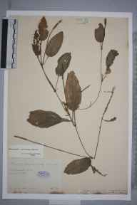 Potamogeton coloratus herbarium specimen from Ramsey, VC31 Huntingdonshire in 1886 by Mr Alfred Fryer.