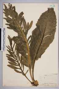 Armoracia rusticana herbarium specimen from West Wickham, VC16 West Kent in 1907 by William Henry Griffin.