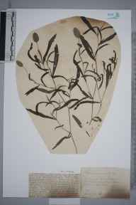 Potamogeton gramineus herbarium specimen from Witcham Meadlands, VC29 Cambridgeshire in 1888 by Mr Alfred Fryer.