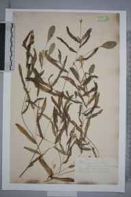 Potamogeton gramineus herbarium specimen from Blockmoor, Mepal, VC29 Cambridgeshire in 1888 by Mr Alfred Fryer.