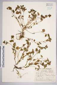 Viola canina herbarium specimen from Hayling Island, VC11 South Hampshire in 1929 by Mr Job Edward Lousley.