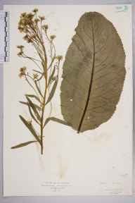 Armoracia rusticana herbarium specimen from Purfleet, VC18 South Essex in 1927 by Mr Isaac A Helsby.