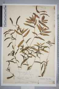 Potamogeton gramineus x perfoliatus = P. x nitens herbarium specimen from Whittlesea,Blackbush Drain, VC29 Cambridgeshire in 1894 by Mr Alfred Fryer.