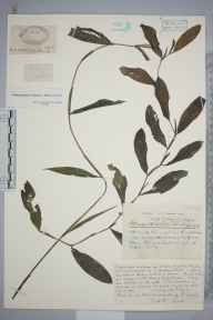 Potamogeton lucens x perfoliatus = P. x salicifolius herbarium specimen from Keynsham, VC6 North Somerset in 1933 by Mr Harold Stuart Thompson.