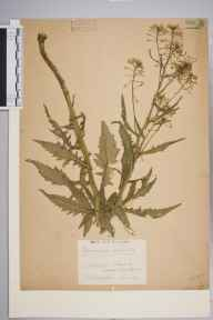 Rorippa  herbarium specimen from Chiswick, Duke's Meadows, VC21 Middlesex in 1939 by Edward Benedict Bangerter.