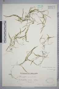 Potamogeton berchtoldii herbarium specimen from Odiham, VC12 North Hampshire in 1931 by Mr Edward Charles Wallace.