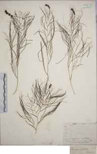 Potamogeton pectinatus herbarium specimen from Lewes, VC14 East Sussex in 1845 by Joseph Woods.