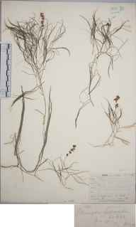 Potamogeton pectinatus herbarium specimen from Hill Head, VC11 South Hampshire in 1873 by Mr Frederick Townsend.