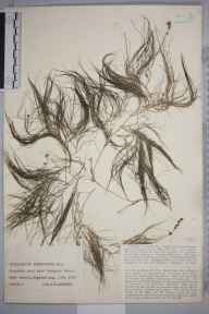 Potamogeton pectinatus herbarium specimen from Cuckmere Haven, VC14 East Sussex in 1930 by Mr Job Edward Lousley.