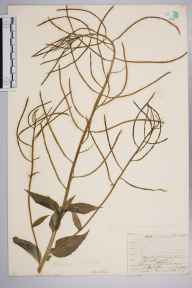 Hesperis matronalis herbarium specimen from Norwood, VC17 Surrey in 1909 by William Henry Griffin.