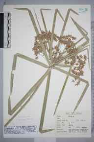 Cyperus  herbarium specimen from Swanage, VC9 Dorset in 2003 by Peter Charles Holland.
